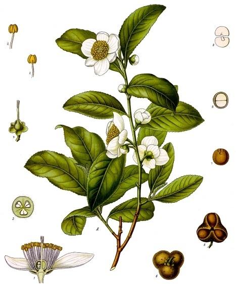 krzew herbaty